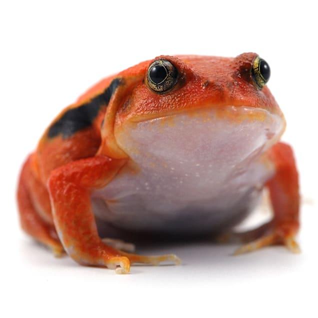 Tomato Frog (Dyscophus guineti) - Carousel image #1