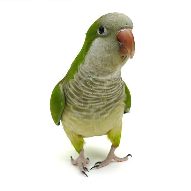 Quaker Parakeet (Myiopsitta monachus) - Carousel image #1