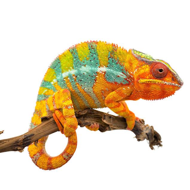 Panther Chameleon (Furcifer pardalis) - Carousel image #1