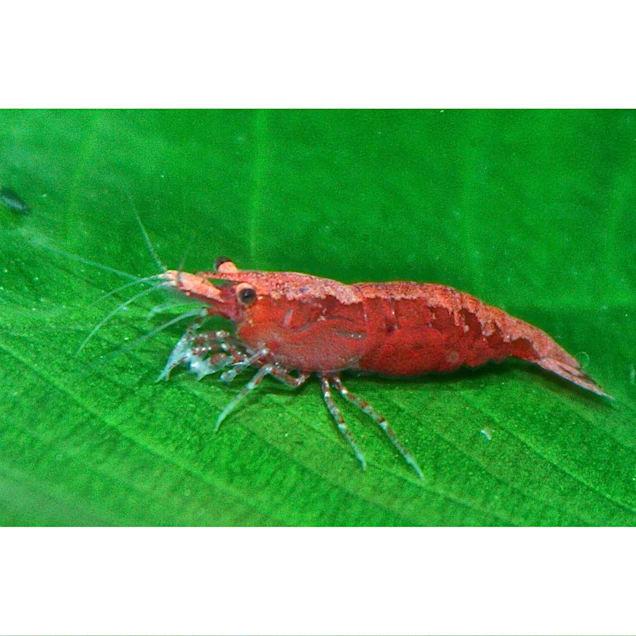 "Cherry Shrimp, 0.5""-1"" (Neocaridina sp.) - Carousel image #1"