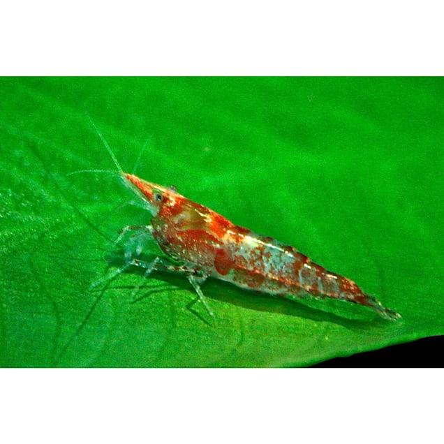 Red & White Shrimp (Neocaridina sp.) - Carousel image #1
