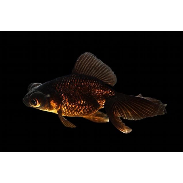 Black Butterfly Goldfish (Carassius Auratus) - Carousel image #1