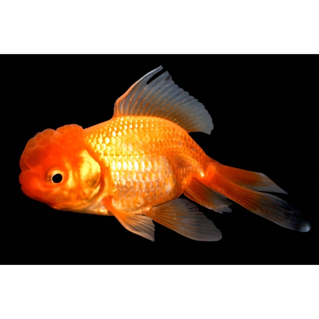 "Red Oranda Goldfish, 2.5""-3.5"" Length - Carousel image #1"
