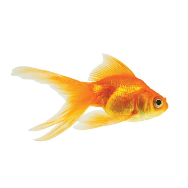 Red Ryukin Goldfish (Carassius auratus) - Carousel image #1