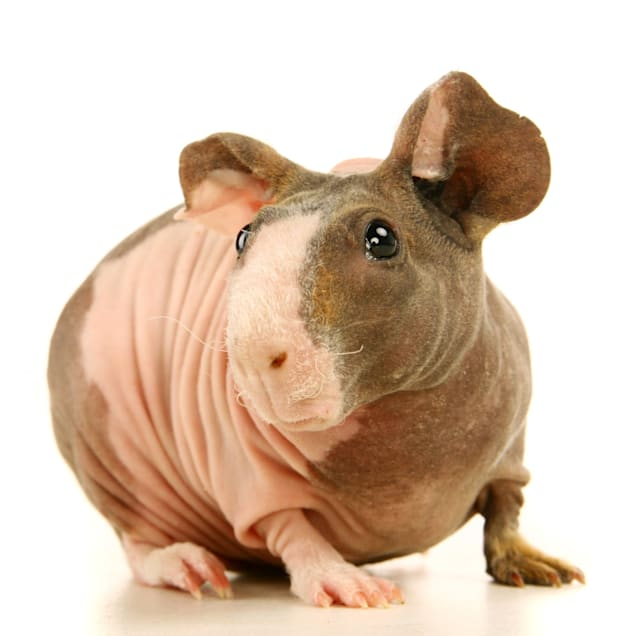 Hairless Guinea Pig (Cavia porcellus) - Carousel image #1