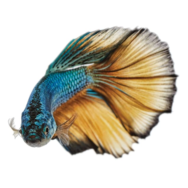 Male Paradise Betta - Carousel image #1