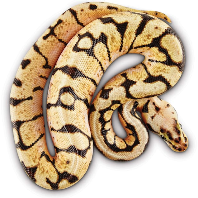 Ball Python (Python regius) - Carousel image #1