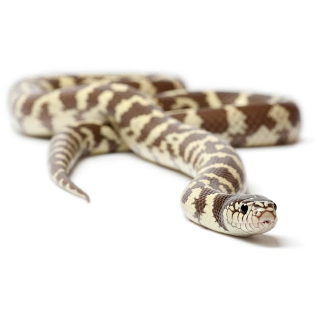 King Snake (Lampropeltis sp.) - Carousel image #1