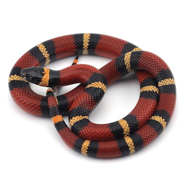Milk Snake (Lampropeltis sp.) - Carousel image #1