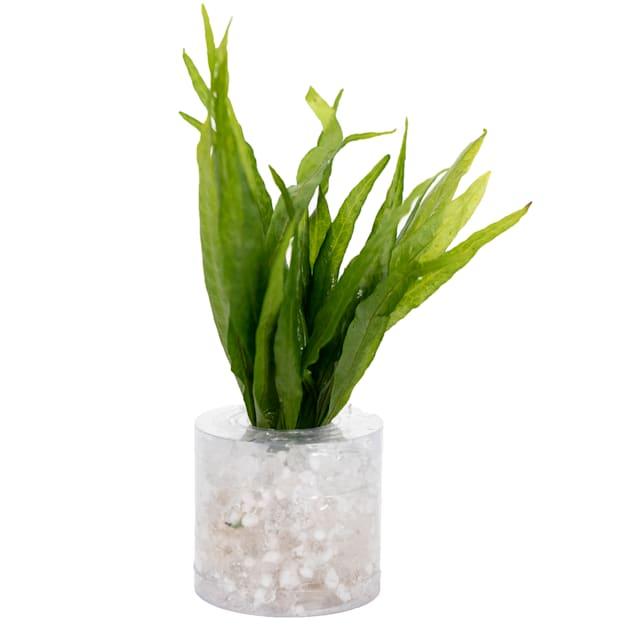 "Java Fern ""Narrow leaf"" (Microsorium pteropus) - Medium - Aquarium Tube Plant - Carousel image #1"