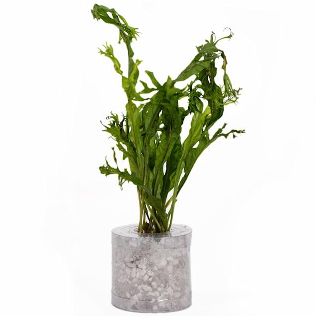 """Microsorium pteropus """"Windelov"""" - Small - Aquarium Tube Plant - Carousel image #1"""