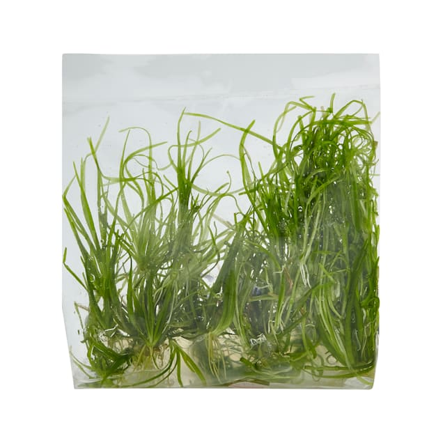 Echinodorus tenellus - Tissue Culture Plant - Carousel image #1