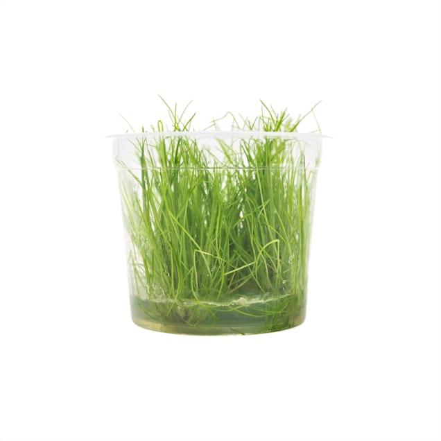 Eleocharis acicularis - Tissue Culture Plant - Carousel image #1