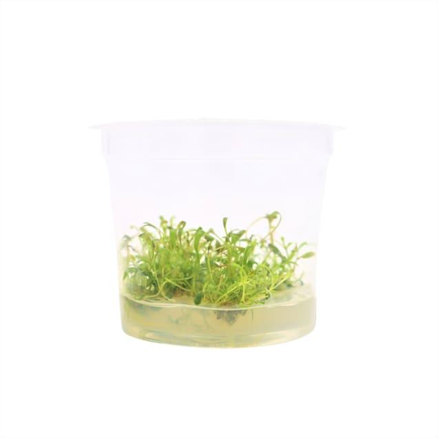 Glossostigma elatinoides - Tissue Culture Plant - Carousel image #1