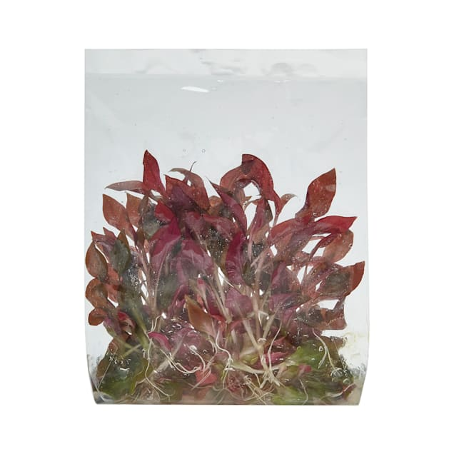 Alternanthera reineckii - Tissue Culture Plant - Carousel image #1