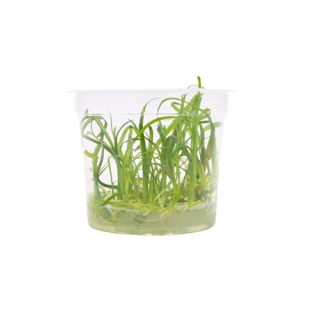 Sagittaria subulata - Tissue Culture Plant - Carousel image #1