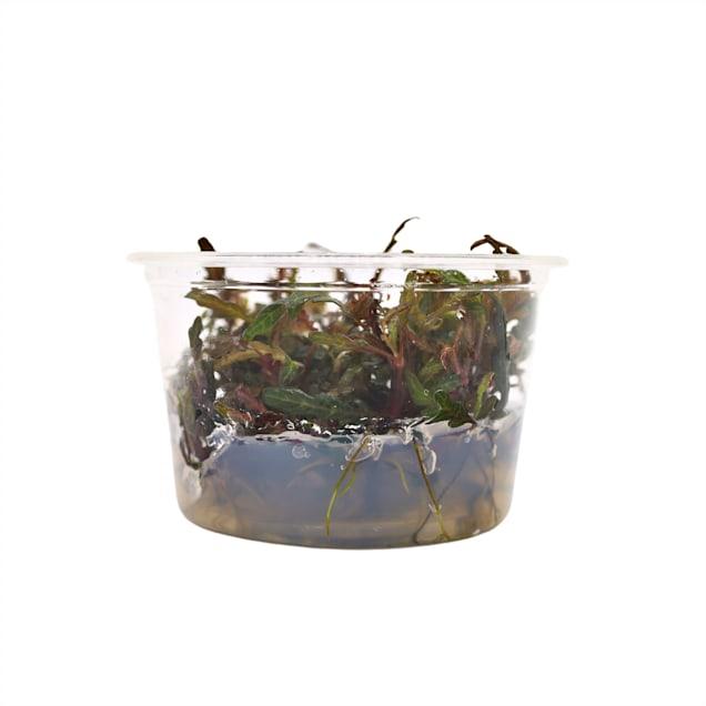 Hygrophila pinnatifida - Tissue Culture Plant - Carousel image #1