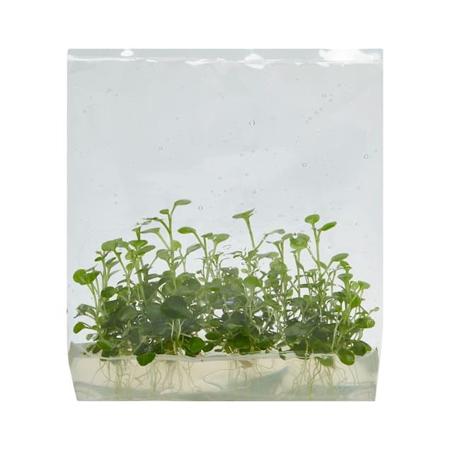 Lobelia cardinalis - Tissue Culture Plant - Carousel image #1