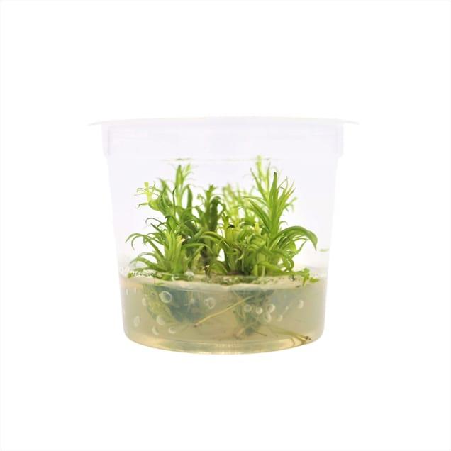 Pogostemon erectus - Tissue Culture Plant - Carousel image #1