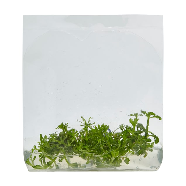 Pogostemon helferi - Tissue Culture Plant - Carousel image #1