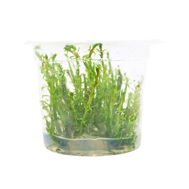 Rotala wallichii - Tissue Culture Plant - Carousel image #1