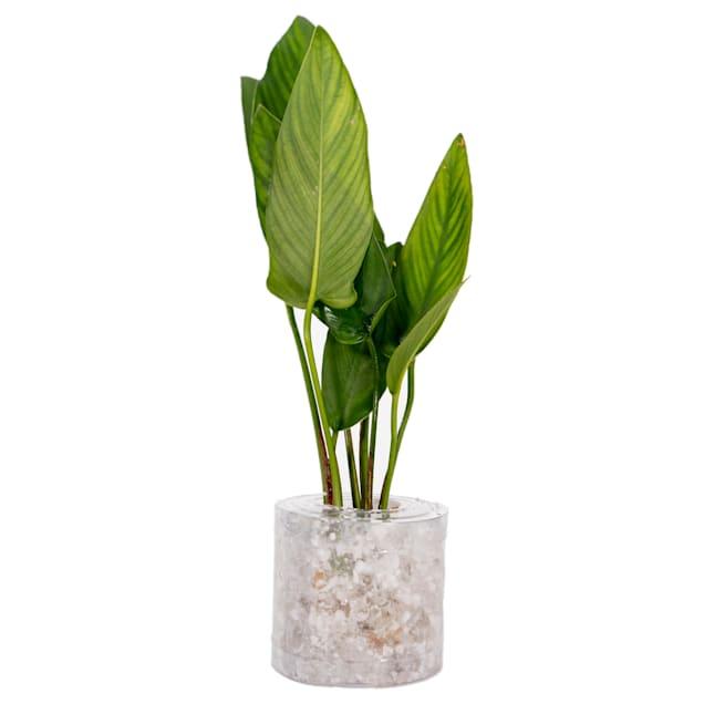 """Anubias sp. """"Gigantea"""" - Large - Aquarium Tube Plant - Carousel image #1"""