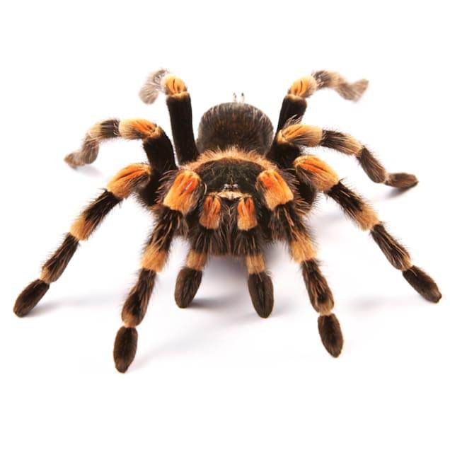 Tarantula (Asst sp.) - Carousel image #1