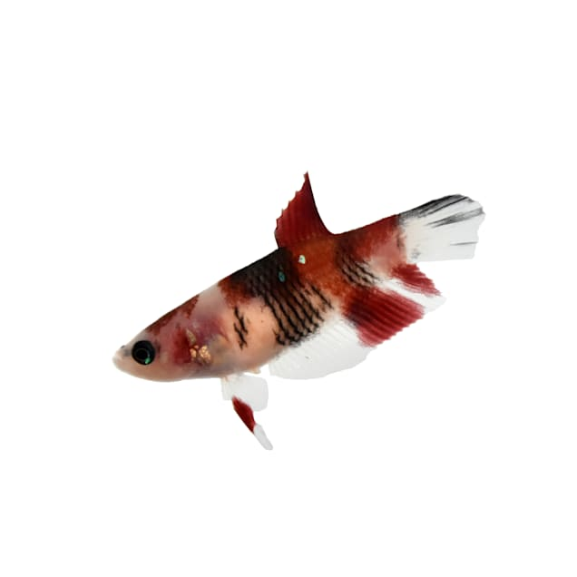 Female Koi Betta (Betta splendens) - Carousel image #1