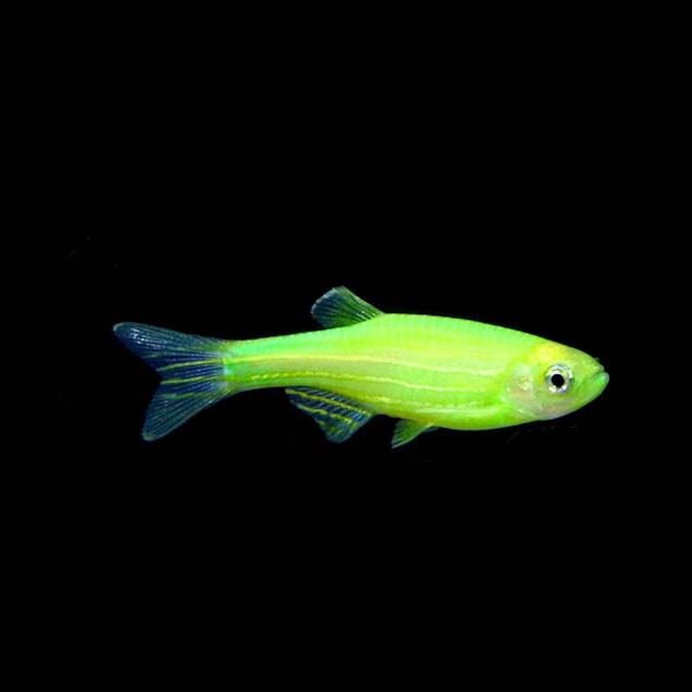 GloFish Electric Green Danio (Danio rerio) - Carousel image #1
