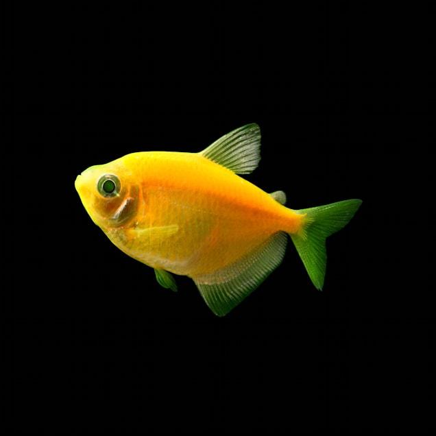 GloFish Sunburst Orange Tetra (Gymnocorymbus sp.) - Carousel image #1
