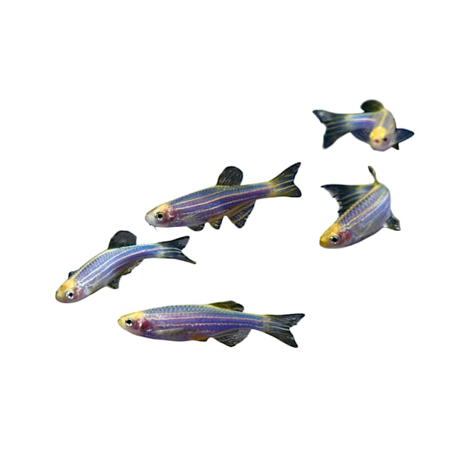 GloFish 5-Pack Cosmic Blue Danio (Danio rerio) - Carousel image #1