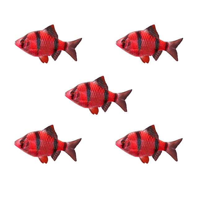 Starfire Red Tiger Barb 5-Pack - Carousel image #1