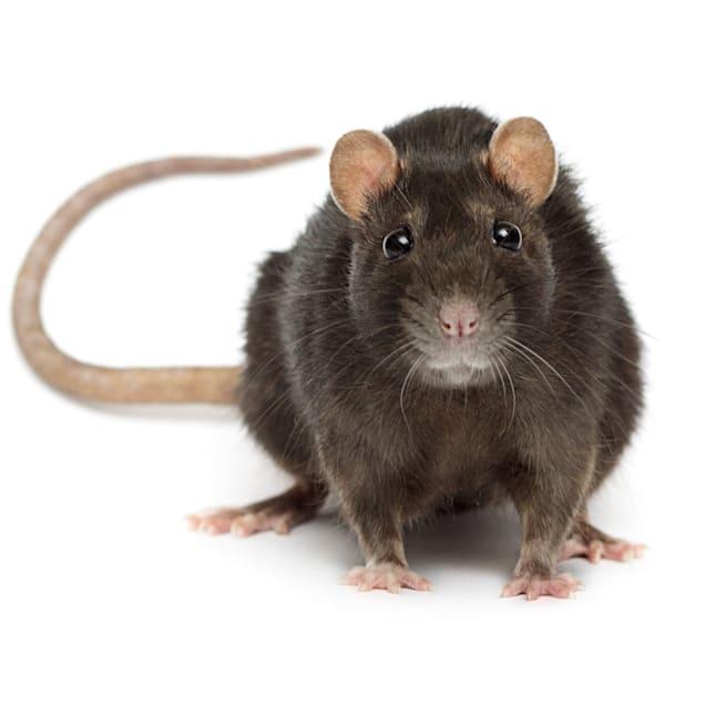 Rat (Rattus norvegicus) - Carousel image #1