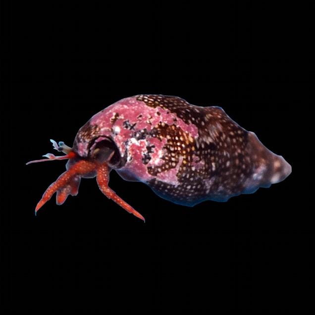 12-Pack Red Leg Cortez Hermit Crab (Clibanarius sp.) - Carousel image #1