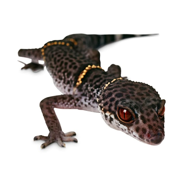 Chinese Cave Gecko (Goniurosaurus hainanensis) - Carousel image #1
