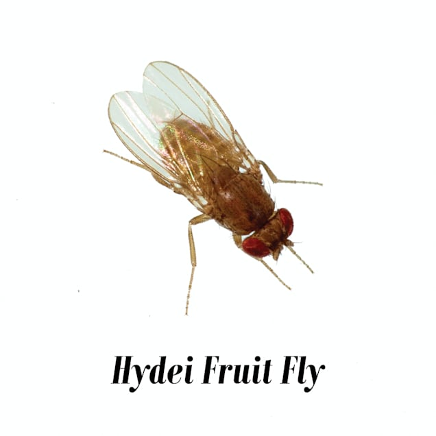 4-pack Fruit Fly Culture (Drosophila hydei) - Carousel image #1