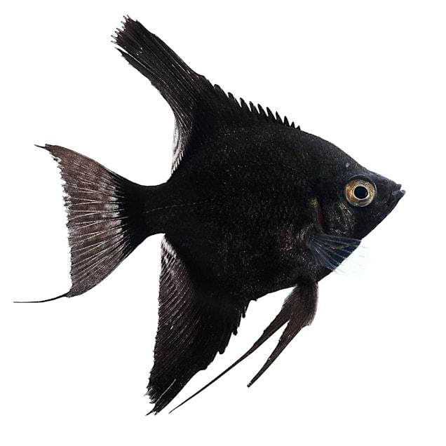 Black Angelfish (Pterophyllum scalare) - Carousel image #1