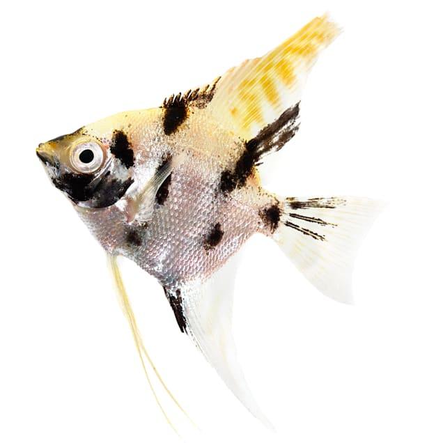 Tricolor Angelfish (Pterophyllum scalare) - Carousel image #1