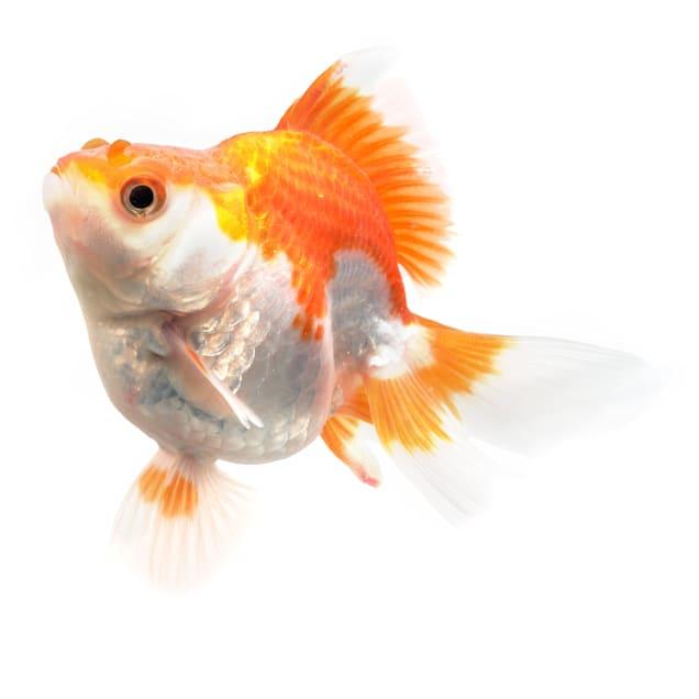 "Jumbo Ryukin Goldfish 4-5"" (Carassius auratus) - Carousel image #1"