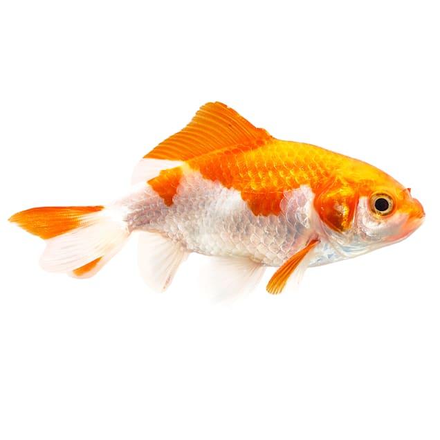 "Wakin Goldfish 2.75-3.25"" (Carassius auratus) - Carousel image #1"
