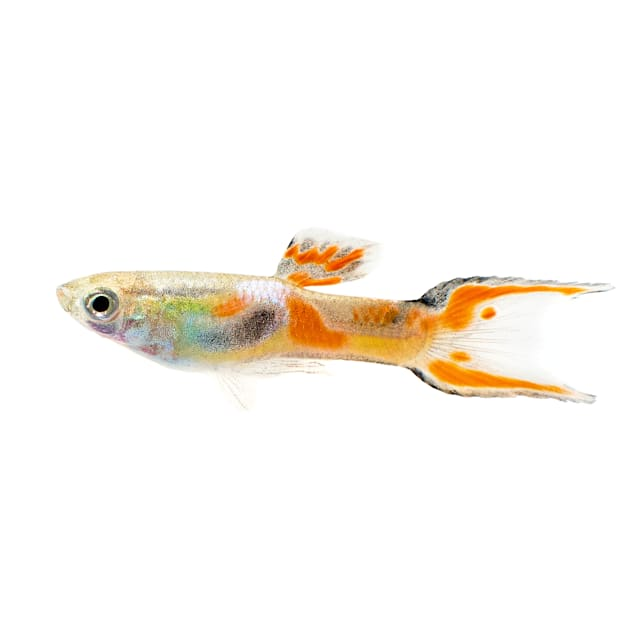 """Male Endler's Guppy 0.75-1"""" (Poecilia sp.) - Carousel image #1"""