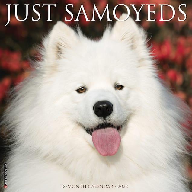 Willow Creek Press Just Samoyeds 2022 Wall Calendar - Carousel image #1