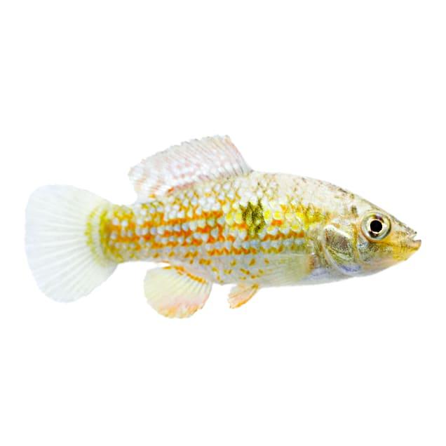 American Flagfish (Jordanella floridae) - Carousel image #1