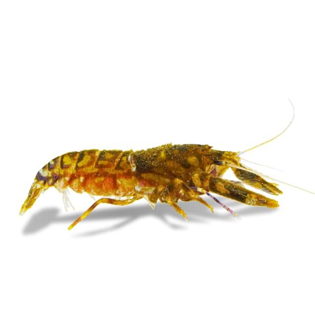 Tiger Pistol Shrimp (Alpheus bellulus) - Carousel image #1