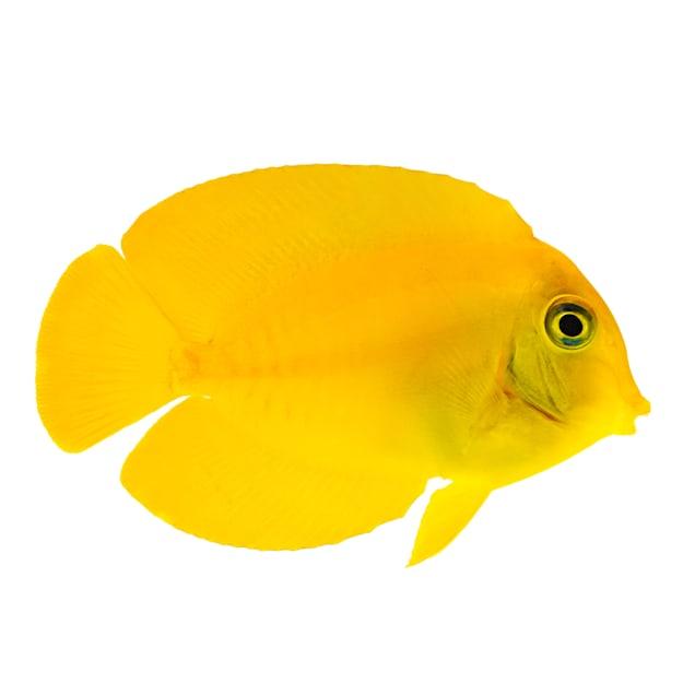 Mimic Lemon Tang (Acanthurus pyroferus) - Medium - Carousel image #1