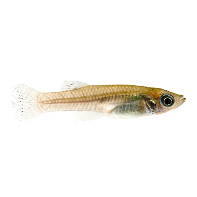 Mosquito Fish (Gambusia sp. aff. affinis) - Carousel image #1
