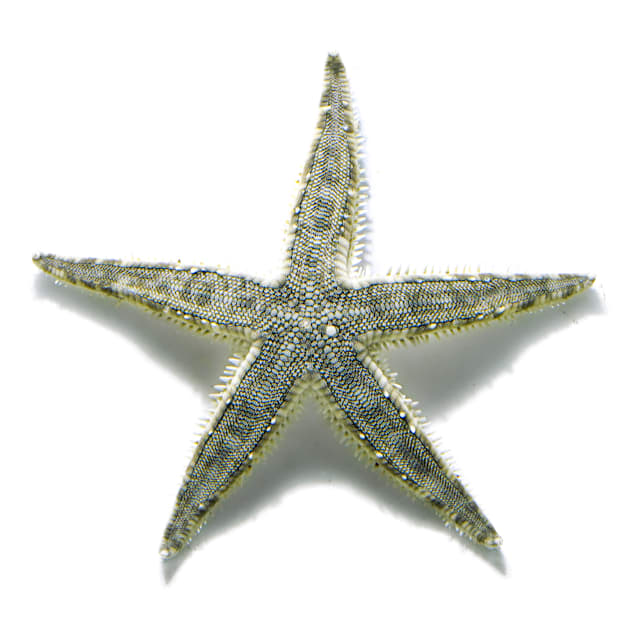 Sand Sifting Sea Star (Astropecten polycanthus) - Carousel image #1