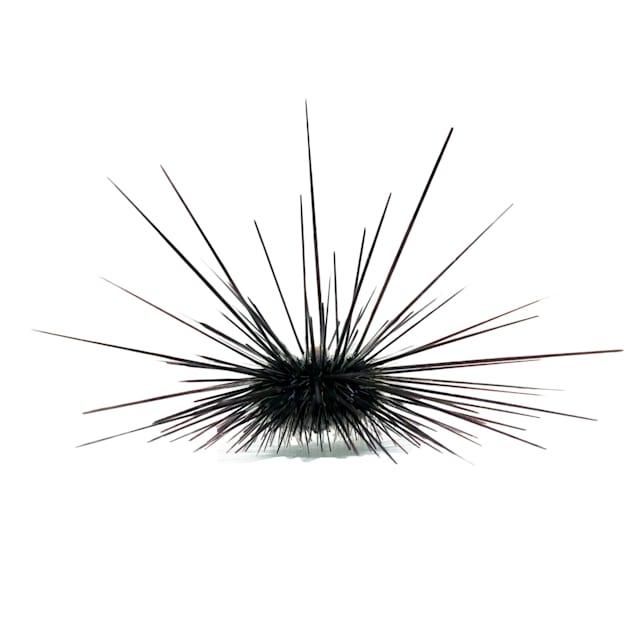 Black Longspine Urchin (Diadema setosum) - Medium - Carousel image #1