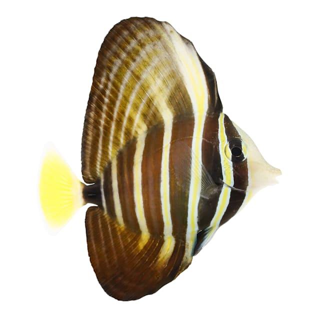 Sailfin Tang (Zebrasoma veliferum) - Large - Carousel image #1
