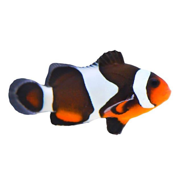 Mocha Clownfish (Amphiprion ocellaris) - Carousel image #1